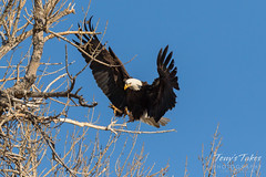Female Bald Eagle returns to the nest - 18 of 29