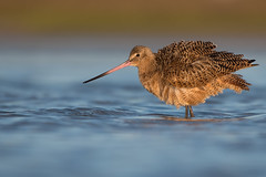 Marbled Godwit (Jesse_in_CT) Tags: marbledgodwit nikon200500mm