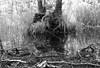 An der Este / At the river `Este` (Lichtabfall) Tags: roots wurzeln schwarzweiss teich pond water wasser tree baum einfarbig blackwhite blackandwhite monochrome neddernhof este