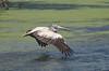 spot-billed pelican (praveen.ap) Tags: spotbilled pelican spot billed spotbilledpelican grey greypelican vedanthangal vedanthangalbirdsanctuary kanchipuram