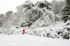 Primley Park in the Snow (iv) (Ray. Hines) Tags: pentaxk5 smcpentaxda18135mmf3556edalifdcwr snow tree white primleypark paignton devon