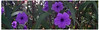 """Secret Garden..."" (Guilherme Alex) Tags: nature natural flowers purple many life live walking garden grass leaf leaves day morning autumn march green world city landscape digitalcamera amateur wild forest wonderful amazing beautiful colors colorful unique found perspective incridible plants flora light brazil teofilootoni citylife imperfection digital"