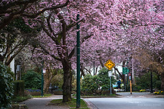 Spring in His Step 🚶🌸🌸🌸 Vancouver, BC (Michael Thornquist) Tags: cherryblossoms prunusaccolade sakura pink blossoms blooming spring spring2018 comoxstreetminipark comoxstreet chilcostreet streetsigns kilt englishbay vancouverphotos vancouver britishcolumbia dailyhivevan vancitybuzz vancouverisawesome veryvancouver 604now photos604 explorecanada ilovebc vancouverbc vancouvercanada vancity pacificnorthwest pnw metrovancouver gvrd canada 500px