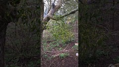 Mistletoe (Viscum album) - infection in Apple tree (snowing) - March 2018 (Exeter Trees UK) Tags: mistletoe viscum album infection apple tree snowing march 2018