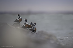 Harlequins (Khurram Khan...) Tags: harlequinduck jetty wildlifephotography wildlife wild wwwkhurramkhanphotocom winter sea rough color iamnikon nikonnofilter khurramkhan birdsphtography waterfowl