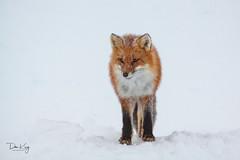 Red Fox on a Cloudy Day (Dan King Alaskan Photography) Tags: redfox fox vulpesvulpes northslope alaska canon50d sigma150500mm