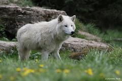 Loup arctique (Passion Animaux & Photos) Tags: loup arctique arctic wolf canis lupus arctos parc animalier saintecroix france