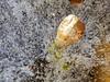 Frozen lampion in the ice (herman hengelo) Tags: macro chineselantern lampionplant bevrorenlampion garden hengelo thenetherlands frozen frozenlantern japaneselantern physalisalkekengi