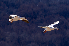 INCOMING (Kimages2c) Tags: snow geese middle creek goose birds sky flight migration