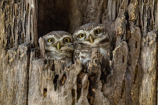 Spotted Owlet | Athene brama