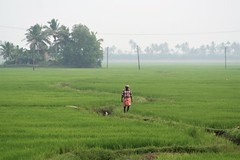 Alleppey, Kerala - Morning Rice Fields at Emerald Isle Heritage Villa (zorro1945) Tags: kerala india inde asia asie southindia alleppey ricefields paddies rice green