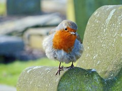Robin in the Howff (eric robb niven) Tags: ericrobbniven scotland robin wildlife wildbird nature winterspring dundee springwatch coth coth5