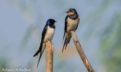 Barn swallow (asheshr) Tags: 200500mm hirundorustica barnswallow bird birds birdsofindia birdsofmangalajodi birdsofodisha birdsoforissa d7200 mangalajodi mangalajodiwetlands nikkor200500 nikond7200 odisha orissa swallow