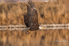 Bald Eagle makes the catch - 31 of 33