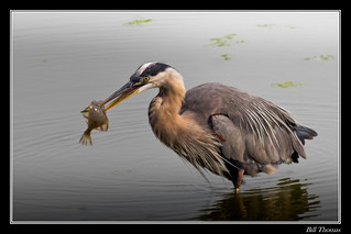 Great Blue Heron with Starry Flounder-1