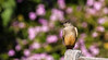 Say's Phoebe South Coast Botanic Garden  065 (pekabo90401) Tags: pleistocenebird pekabo90401 scbg southerncaliforniabirds southcoastbotanicgarden birdsofsoutherncalifornia birdwatching birdwatchinglosangeles garden gardenmonkey phoebe saysphoebe sayornissaya papamoscasllanero moucherolleàventreroux lightroom lind fugl vogel chim avem manu wesen 鳥 นก oiseau ibon πουλί 새 پرنده птица 100400 80d canon80d camaraderie friendship cooperativemodel wintertime winterlight haveagreatweekend hff notafence