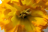 Waiting (mslabrat13) Tags: cmwdyellow 7dwf stamen macro spring march narcisus flowers yellow