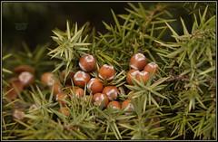 Juniperus oxycedrus subsp. oxycedrus L. Prickly Juniper Smrič, Crvena kleka, Primorska kleka, Šmrika 6310 Bot (Morton1905) Tags: juniperus oxycedrus subsp l prickly juniper smrič crvena kleka primorska šmrika 6310 bot