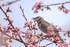 Everyone, this cherry blossom is sweet (sapphire_rouge) Tags: cherry sakura spring brownearedbulbul park cherryblossom ヒヨドリ taiwancherry 桜 調布飛行場 武蔵野の森公園 o
