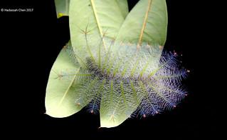Lexias caterpillar from Singapore [Flickr Explore: 13 Mar 2018]