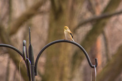 Female Northern Goldfinch (judyflo1) Tags: bird nature goldfinch feeder latewinter wildlife nj teaneckcreek