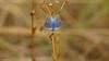 Argus bleu 008 (Hturina) Tags: argusbleu miribeljonage papillon décinescharpieu rhônealpes france fr