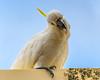 Sulphur-crested Cockatoo (Merrillie) Tags: australia nsw woywoy sulphurcrestedcockatoo wildlife tree nature cockatoo bird birds animal animals fauna parrot newsouthwales jacaranda