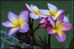 Last of Frangipani for 2018= (Sheba_Also 13 Million views) Tags: last flowering frangipani for early 2018