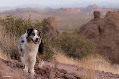 On the trail (Jasper's Human) Tags: aussie australianshepherd lostdutchmanstatepark desert