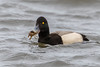 greater scaup (male) - crabbing (ianbollen) Tags: westkirby england unitedkingdom gb scaup greater crabbing cheshire