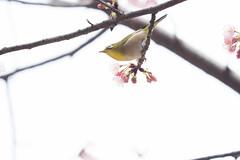 _3188202.jpg (plasticskin2001) Tags: mejiro sakura bird flower