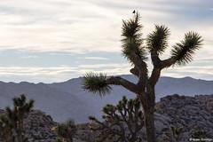 Spiky Perch (isaac.borrego) Tags: california joshuatree nationalpark desert