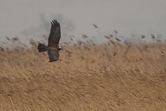 Marsh Harrier (Tim Melling) Tags: circus aeruginosus marsh harrier juvenile blacktoft yorkshire timmelling