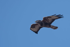 Buzzard (Tim Melling) Tags: buteo common buzzard peak district timmelling south yorkshire