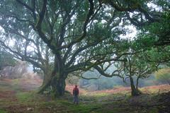 (RicardoPestana2012) Tags: fanal trees til madeira madeiraisland forest fog mist