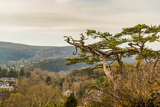 The black pine