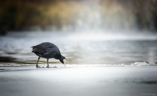 foraging on the ice