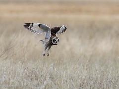 ...takeoff from a standing start. (Chub G's M&D) Tags: asioflammeus aves avian birdphotography birdofprey birding birds boxeldercounty howell owl raptor shortearedowl utah flight hunting