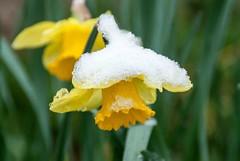 Premier jour du printemps (Ariège) (PierreG_09) Tags: seix ariège pyrénées pirineos couserans printemps neige jardin fleur narcisse narcissus liliaceae flor flore plante