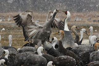White-naped Cranes & Hooded Cranes