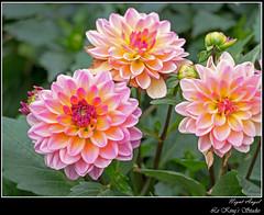 大麗菊 • Dahlia (Le Kings Studio) Tags: blooming flower floral botanical lavender petal tulip blossom flora marguerite violet hydrangea marco