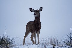 DSC02388 (Ryan Strickhouser) Tags: sony a68 doe deer snow yucca