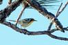 Yellow-throated Warbler (Dendroica dominica);  Punta Gorda, FL, Babcock-Webb Wildlife Management Area [Lou Feltz] (deserttoad) Tags: nature water animal park florida bird wildbird swamp warbler behavior