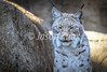 DSC_4527.jpg (Knox Art Works) Tags: 2018 wildcat lynx endangered mammal dangerous cat carnivore catface eurasianlynx claws animalisolated cathunting hunting majestic lincolnparkzoo catbehaviour predator undomesticated bobcat fierce feline apexpredator eurasian chicago fur illinois