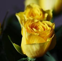 DSC_9005 (PeaTJay) Tags: nikond750 sigma reading lowerearley berkshire macro micro closeups gardens indoors nature flora fauna plants flowers bouquet rose roses rosebuds
