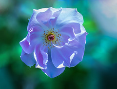 Light in the DNA (12bluros) Tags: rose flower flora floral canonef100mmf28lmacroisusm macro shrubrose