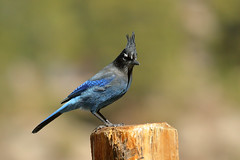 Steller's Jay (5440) (Bob Walker (NM)) Tags: bird stellersjay cyanocittastelleri stja jay perching stellersjayinterior fencepost losalamos newmexico usa