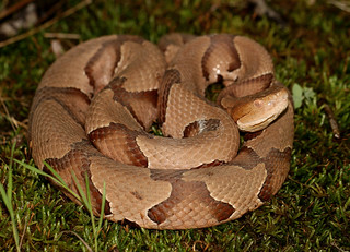 Osage Copperhead (Agkistrodon contortrix phaeogaster)