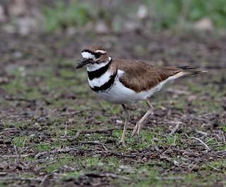 A Killdeer (Charadrius vociferus), mud on its bill from probing for edibles, hesitates...