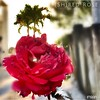 (Sh)red Rose To (And Inspiration For) You  - IMRAN™ (ImranAnwar) Tags: blessed florida tampabay apollobeach philosophy life prose motivation lifestyle flowers roses inspiration imran imrananwar iphone